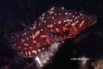Hexagrammos lagocephalus