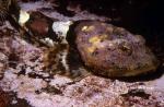 Myoxocephalus polyacanthocephalus