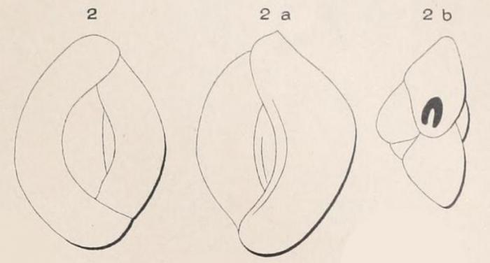 Quinqueloculina carinata d'Orbigny, 1850