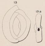 Quinqueloculina dubia d'Orbigny, 1852