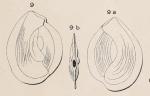 Quinqueloculina lamellata d'Orbigny, 1850