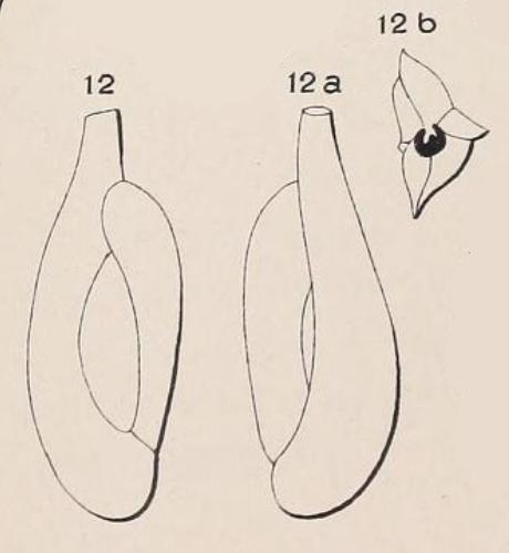 Quinqueloculina longirostra d'Orbigny, 1826