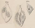 Quinqueloculina punctata d'Orbigny in Fornasini, 1905