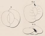 Quinqueloculina subrotunda Montagnu, 1803
