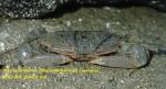 Macrophthalmus (Macrophthalmus) convexus