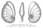 Pseudononion japonicum Asano, 1936