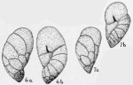 Cassidulina charlottensis Cushman, 1925