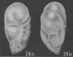 Robertina californica Cushman & Parker, 1936
