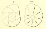 Rotalia discoides d'Orbigny in Michelotti, 1841