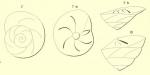 Rotalia trochus d'Orbigny, 1852
