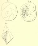 Rotalia saxorum d'Orbigny, 1850