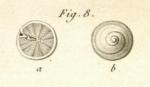 Rotalites trochidiformis Lamarck, 1804