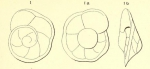 Rotalia marginata d'Orbigny, 1850