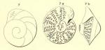 Rotalia thouini d'Orbigny, 1850