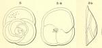 Rotalia punctata d'Orbigny in Fornasini, 1906