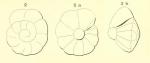 Rotalia suessoniensis d'Orbigny, 1850