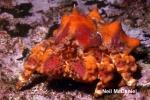 Lopholithodes mandtii