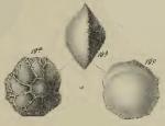 Rotalia lithothamnica Uhlig, 1886