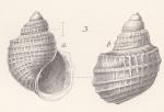 Alsatia turbiniformis Andreae, 1884