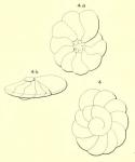 Turbinulina laevis d'Orbigny in Fornasini, 1906