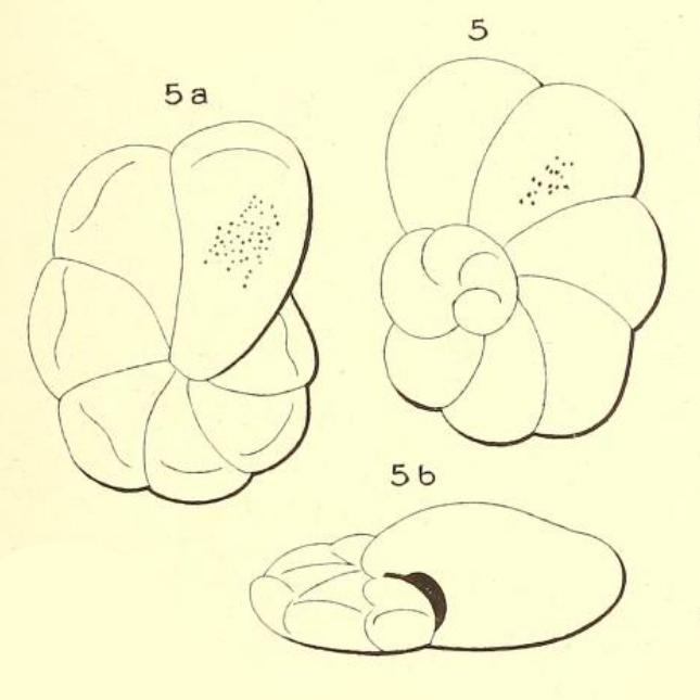 Turbinulina semimarginata d'Orbigny, 1850