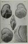 Globorotalia menardii (d'Orbigny in Parker, Jones & Brady, 1865)