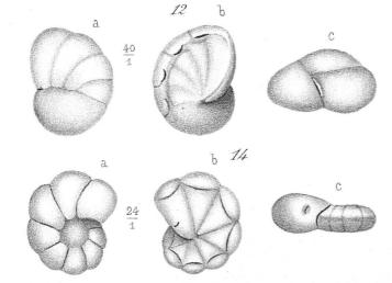 Rotalina semimarginata (d'Orbigny, 1850)
