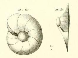 Gyroidina carinata d'Orbigny in Guérin-Méneville, 1832