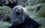 Ant Fur Seal bull