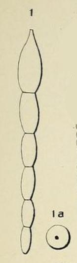 Nodosaria ovicula d'Orbigny, 1826