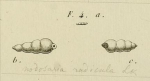 Nodosaria radicula (Linnaeus, 1758)