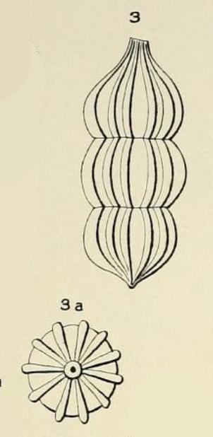 Nodosaria aequalis d'Orbigny in Fornasini, 1908