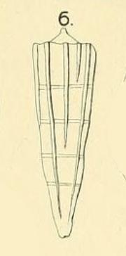 Pyramidulina eptagona Costa in Fornasini, 1894