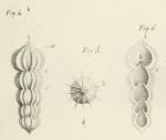 Nodosaria lamellosa d'Orbigny, 1826