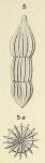 Nodosaria pulchella d'Orbigny, 1850