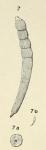 Dentalina striata d'Orbigny, 1852