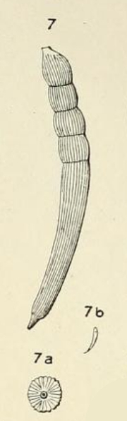 Dentalina striata d'Orbigny, 1852