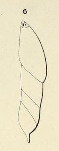 Dentalina caudata d'Orbigny, 1852