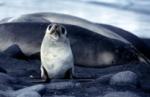 Ant Fur Seal yearling