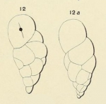 Bulimina arcuata d'Orbigny, 1852