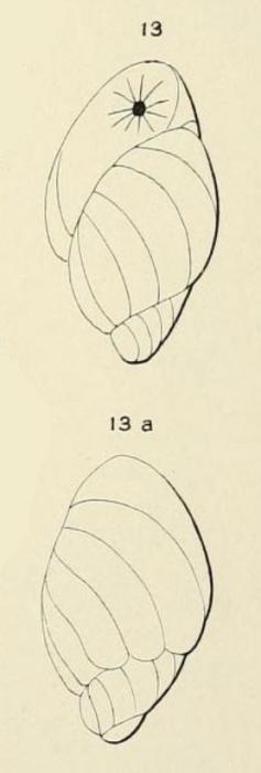 Bulimina madagascariensis d'Orbigny in Fornasini, 1908