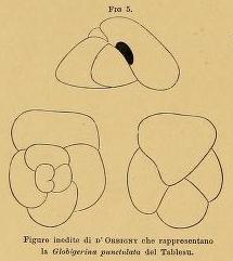 Globigerina punctulata