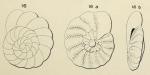 Turbinulina crassa d'Orbigny in Fornasini, 1908