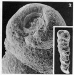 Clavulina columnatortilis (d'Orbigny in Guérin-Méneville, 1832)