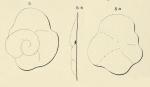 Truncatulina contecta d'Orbigny, 1850