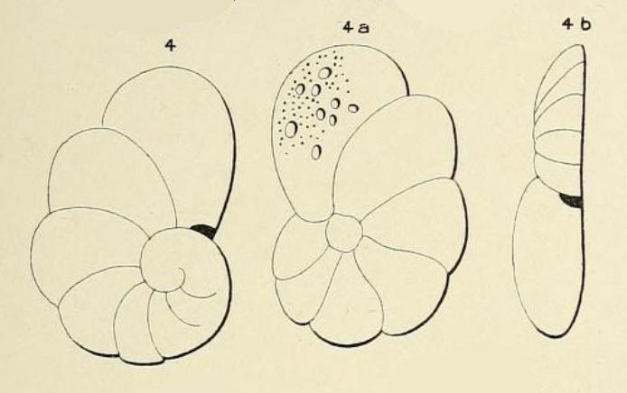 Truncatulina infractuosa d'Orbigny, 1852
