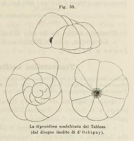 Gyroidina umbilicata d'Orbigny in Fornasini, 1902