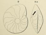 Anomalina nautiloides d'Orbigny, 1852