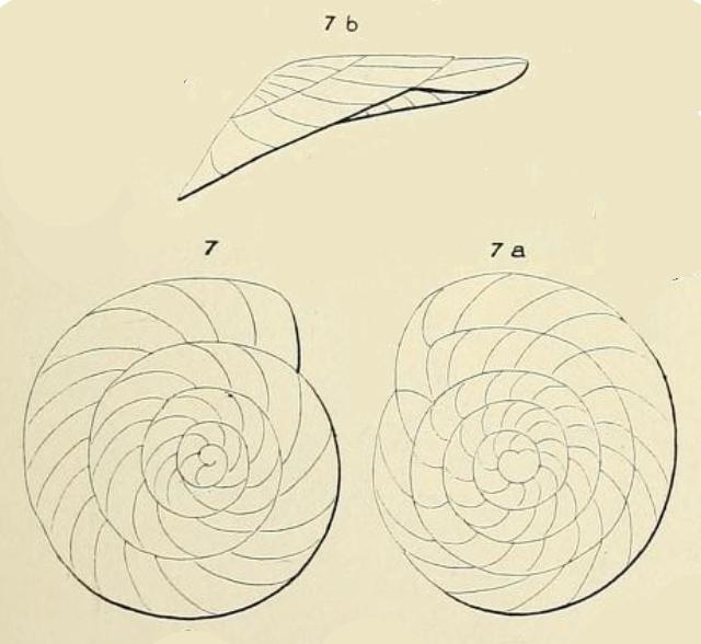 Planulina dubia d'Orbigny in Guérin-Méneville, 1832