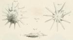 Calcarina defrancii d'Orbigny, 1826